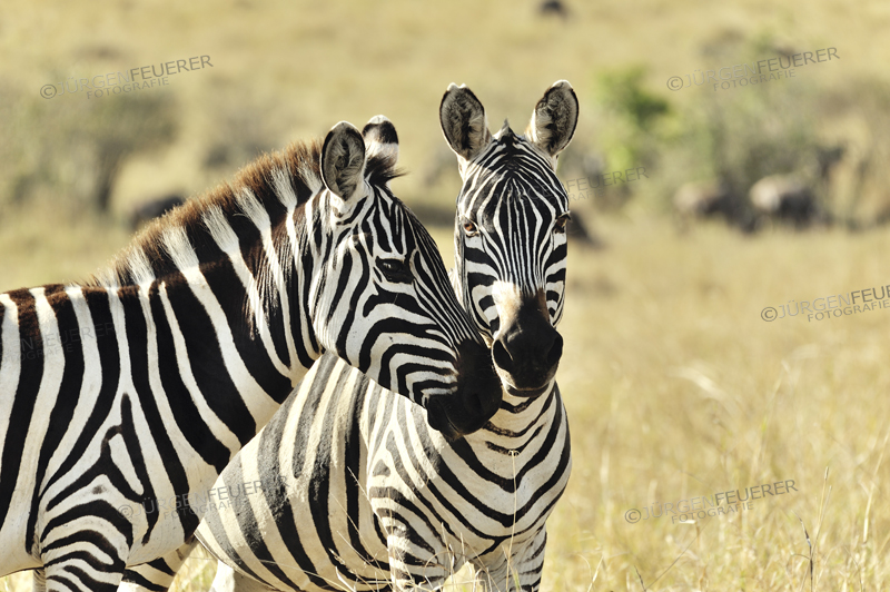 two Zebras showing their affection