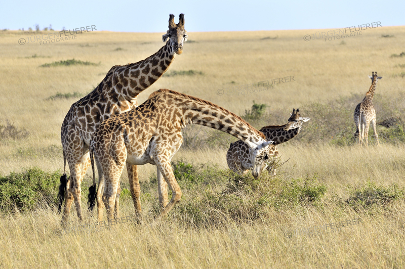 Giraffes in the Landscape of Masai Mara