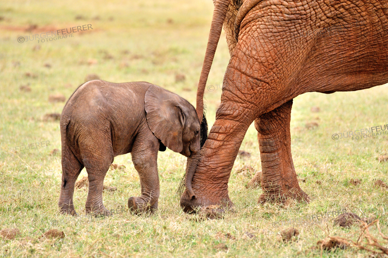 Young playful Elephant Baby, nudging nose to get attention or just ham-fisted