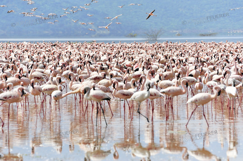Assembly of Flamingos in African Rift Valley, Lake Bogoria