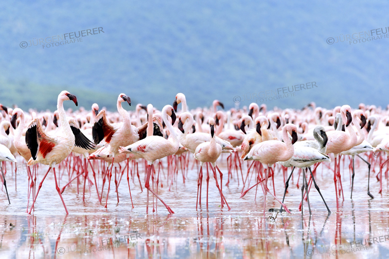 Flamingos spreading their deep red wings to get the attention of the females, in African Rift Valley, Lake Bogoria