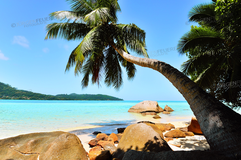 Hanging Palm Tree at Anse a la Mouche, Island Mahé, Seychelles